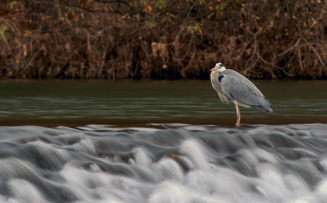 Grey heron in water (reedited photo) by luka567