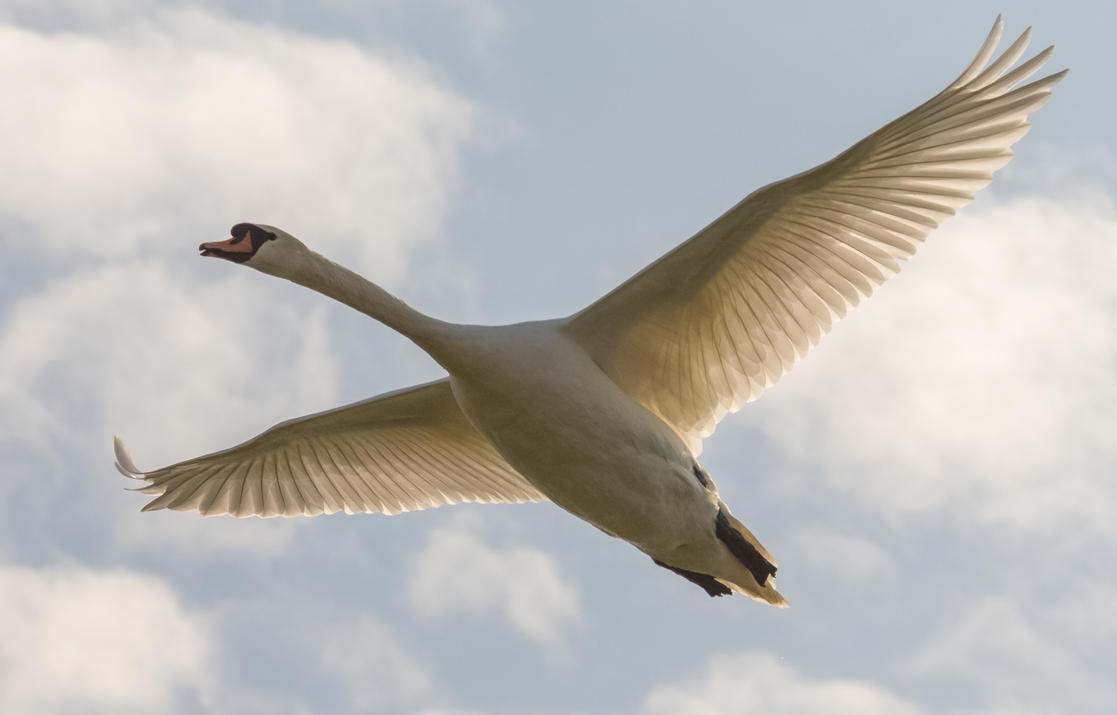 Swan fly-by by luka567