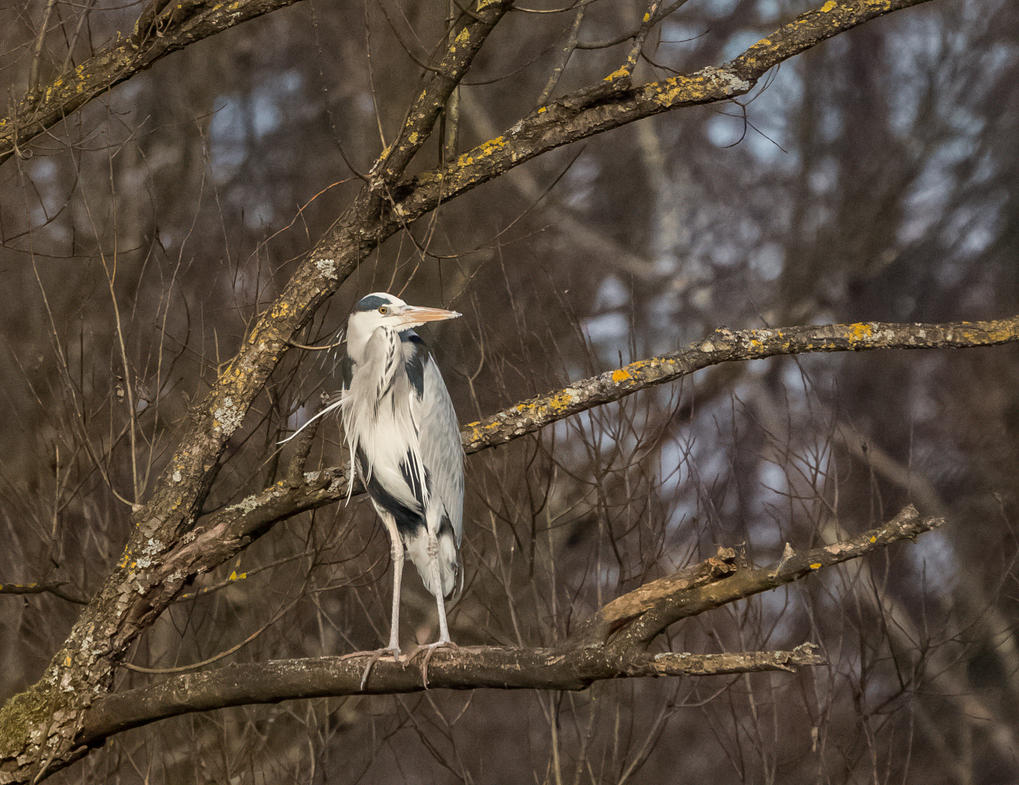 Grey heron on the tree by luka567