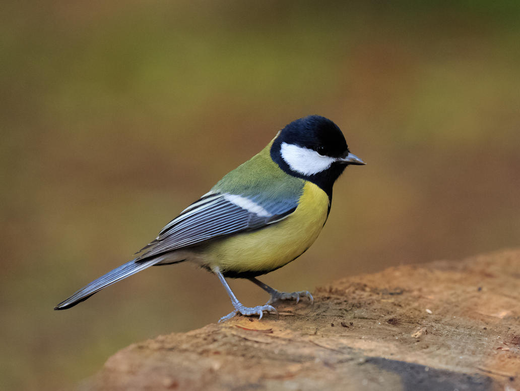 Parus major (Great tit) by luka567