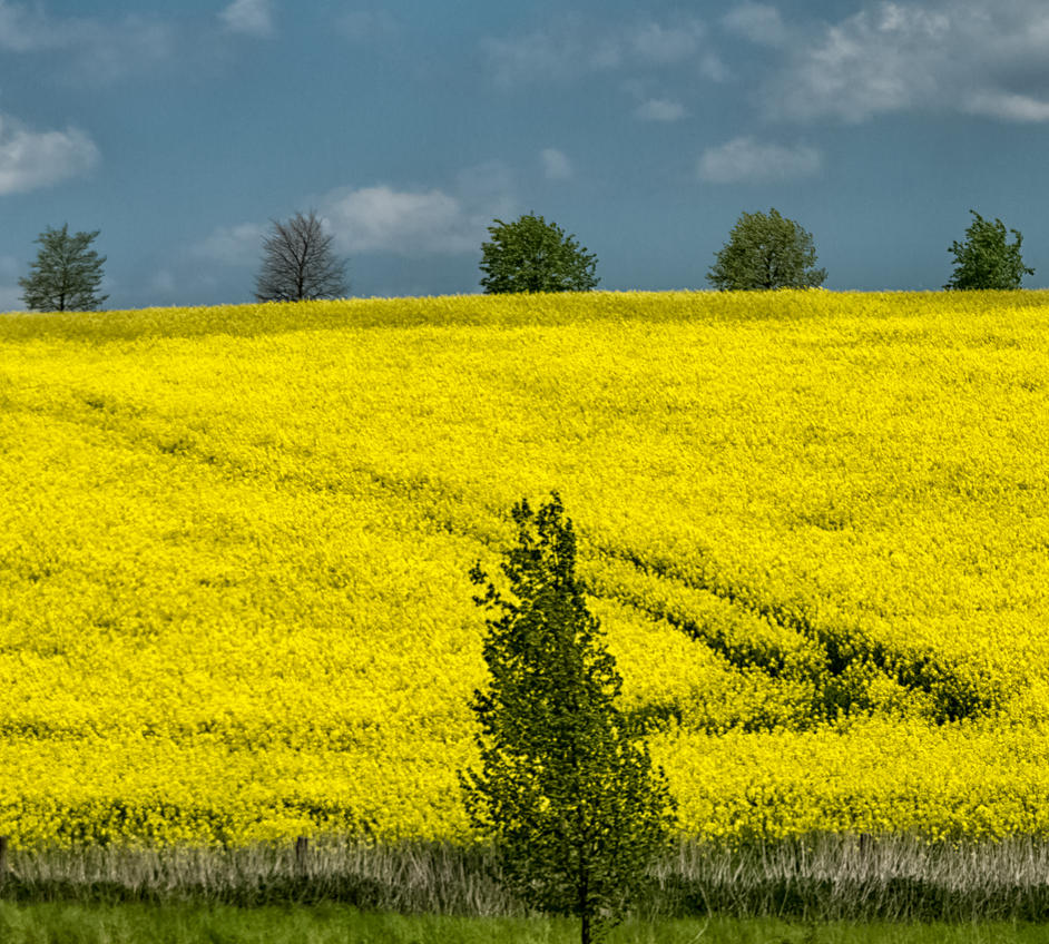 Fields of yellow by luka567
