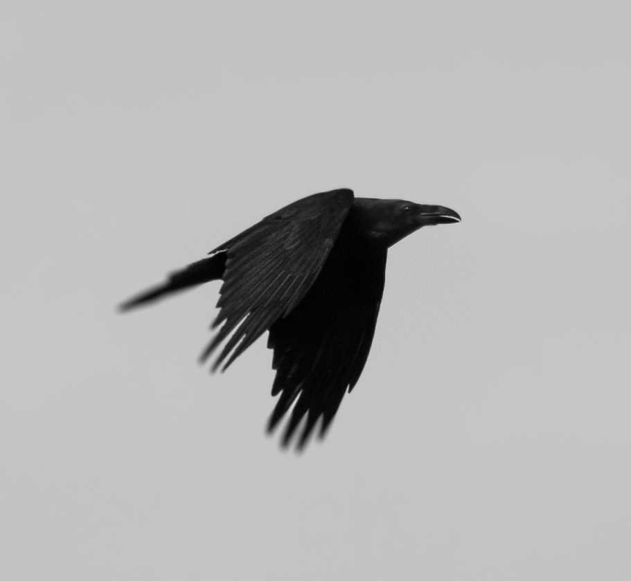 Crow in flight by luka567