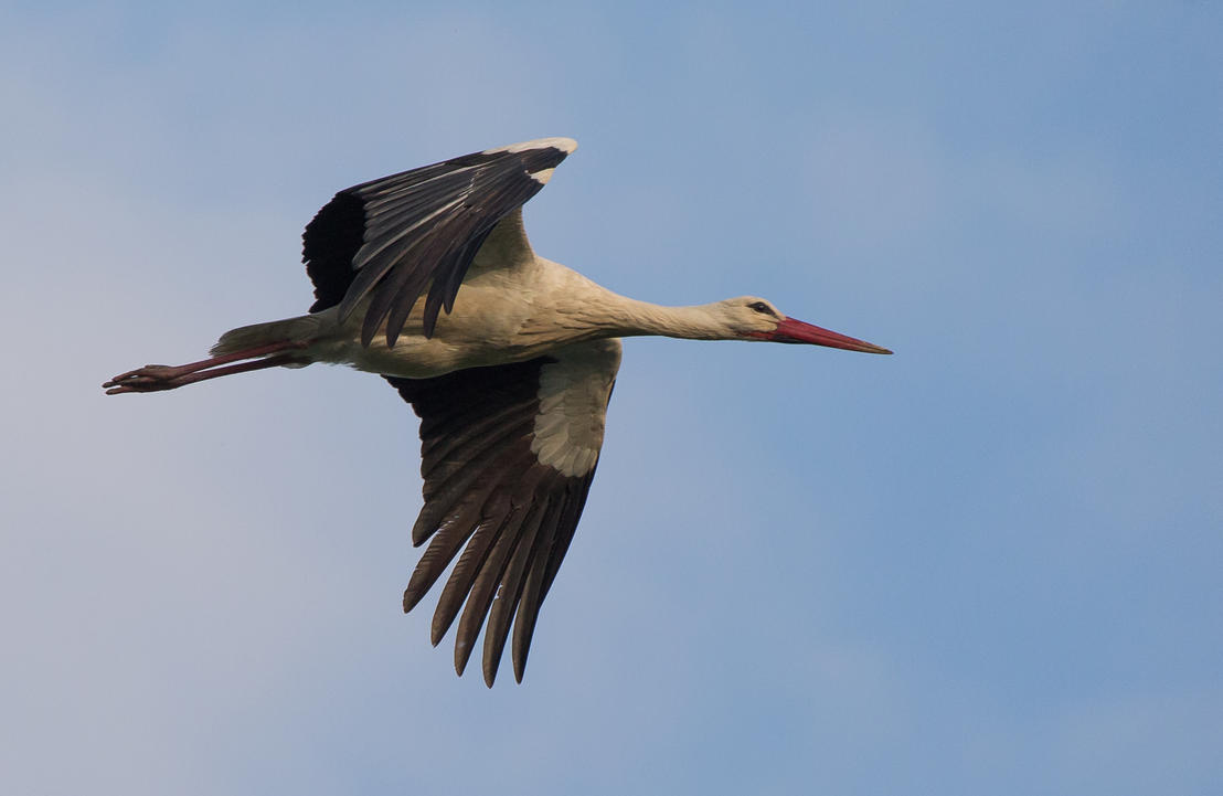 Stork in flight by luka567