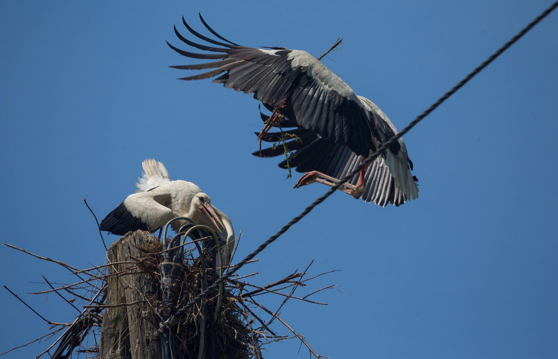 Storks, building a nest by luka567
