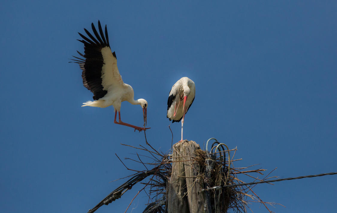Storks building their nest by luka567