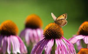 Butterfly on a purple coneflower by luka567