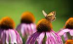 Butterfly on a purple coneflower