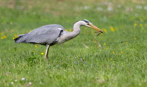 Grey heron's lunch by luka567