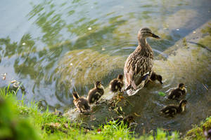Duck family by luka567