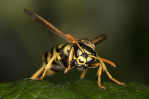 From eye to eye with a wasp