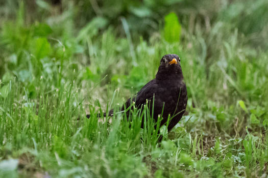 An evening visitor - Blackbird