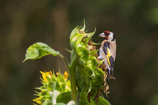 European goldfinch on a sunflower