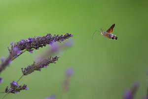 The hummingbird hawk-moth in flight