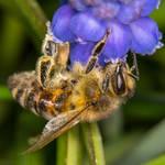 Honeybee feasting by luka567
