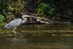 Grey heron going for a walk