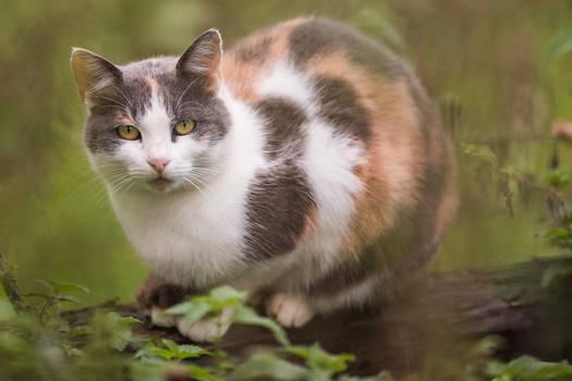 Tricoloured cat posing