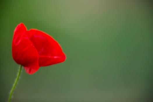 Red poppy in full bloom on green background
