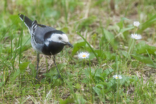 White wagtail and a daisy