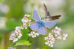 Butterflies on buckwheat's flower