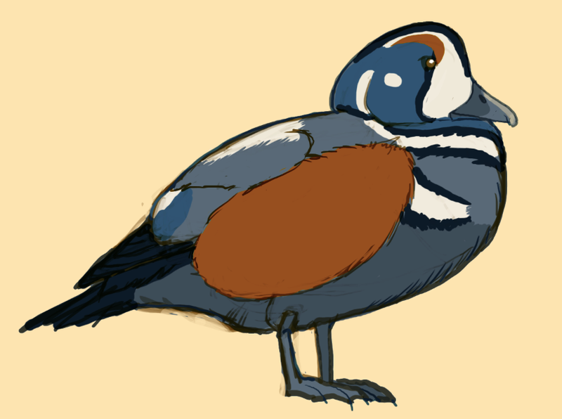 Harlequin Duck Quick Study by raven-amos