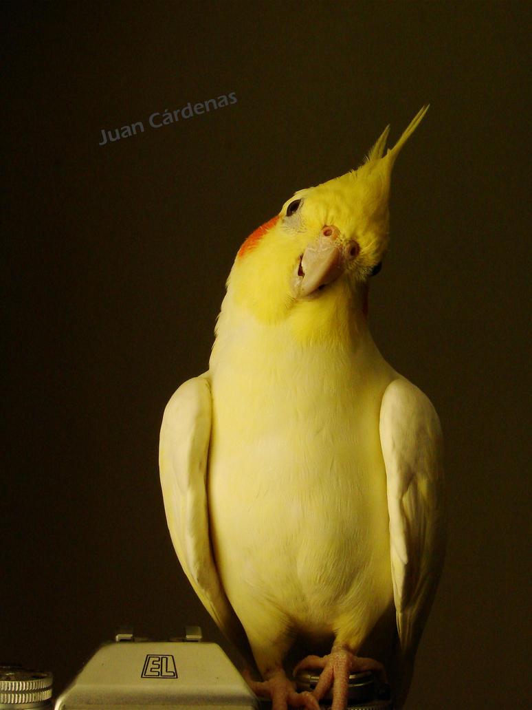 Cockatiel look by nacion33 on deviantart for Cocktail yellow bird