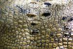 stock-Crocodylus porosus II