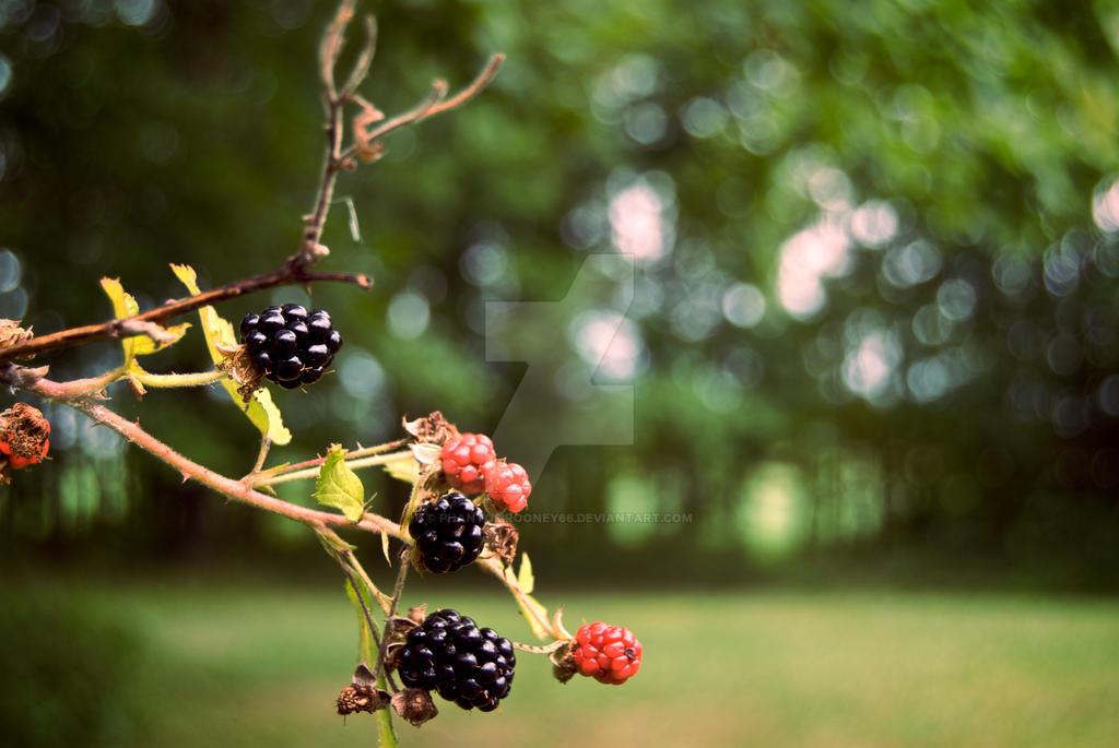 blackberries. by phantomrooney66