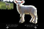animal-lamb-Sheep-1-cut by marjan khoshro