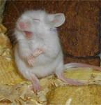 Mouse yawn