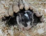 Cute sweet gerbil by JanusMouse
