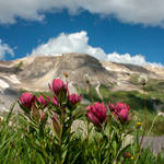 flower of the mountain...