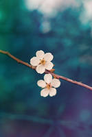 cherry blossoms by kiritani-akira