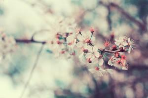 cherry blossoms 2 by kiritani-akira