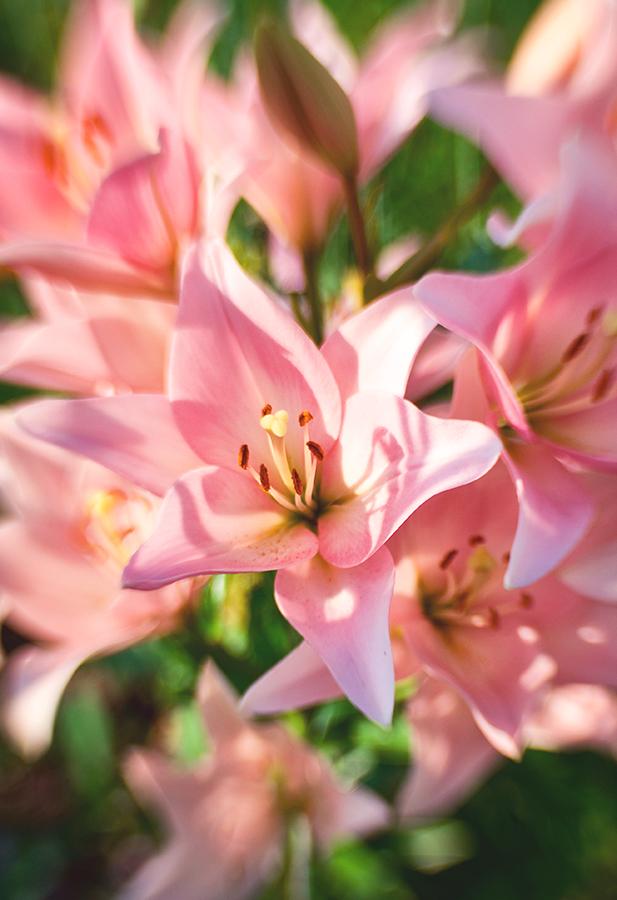 lily by kiritani-akira