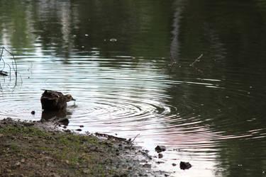 Thirsty Duck