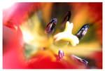 Tulip With Sun Rays