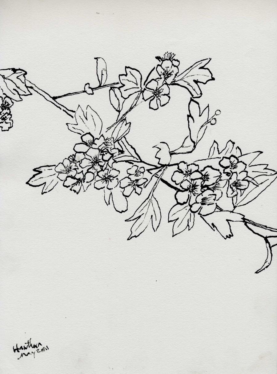 Hawthorn Blossom By Merearthling On DeviantArt