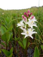 Bogbean in marsh by merearthling