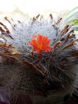 Cacti In Flower