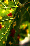 Leaf by ImpatientButterfly