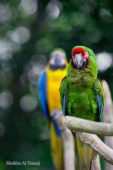 Noisy Macaw