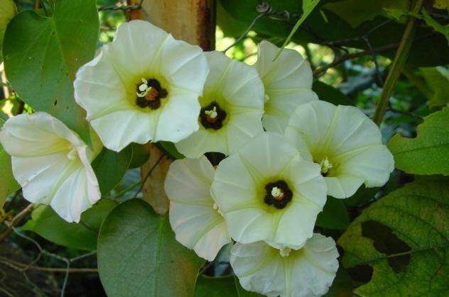 flor de xtabentun by Guadisaves02