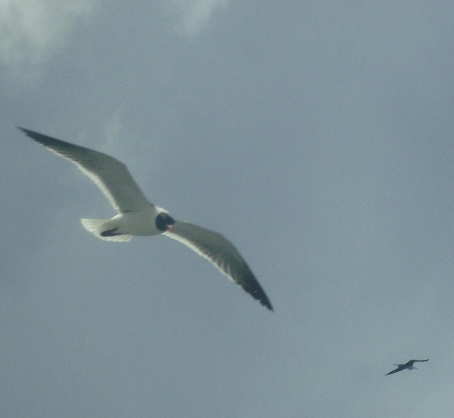 Seagull by Guadisaves02
