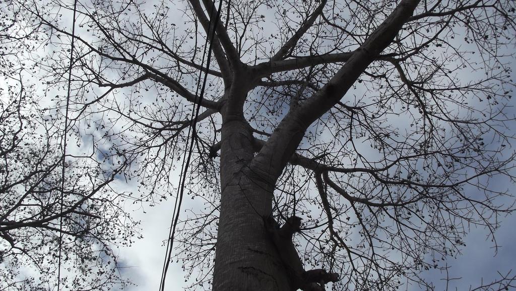 Ceiba Tree by Guadisaves02