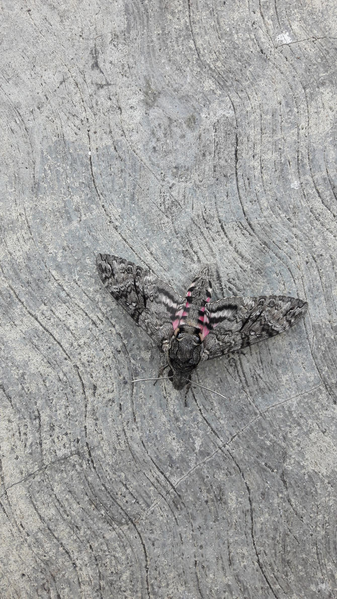 Grey and Pink Moth by Guadisaves02