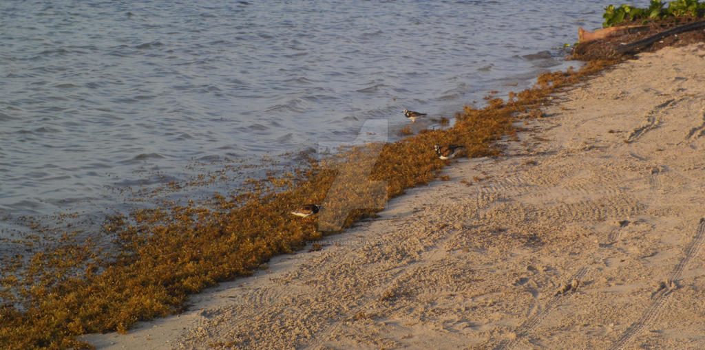 Ruddy Turnstone in beach by Guadisaves02