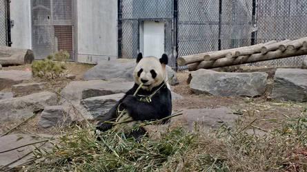 Giant Panda - Da Mao