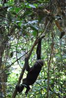 Baby Gorilla by Abenn