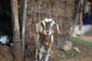 Chipmunk or Goat by Abenn