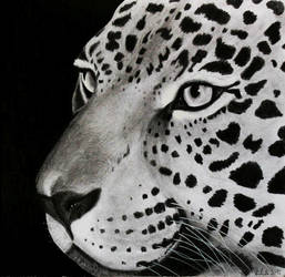 The Jaguar( Panthera onca) finished